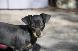 Dexter, chien Pinscher