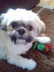 César, chien Shih Tzu