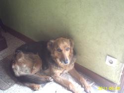 Zita, chien Berger allemand