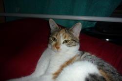 Misa, chat Européen