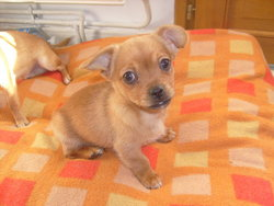 Doui, chien Chihuahua