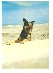 Prince, chien Berger allemand