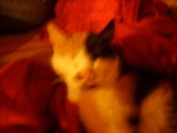 Biboun, chat