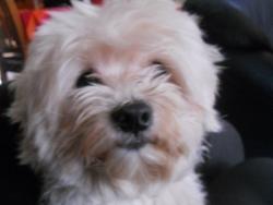 Curby, chien Bichon havanais