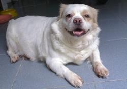 Bébé, chien Spitz japonais
