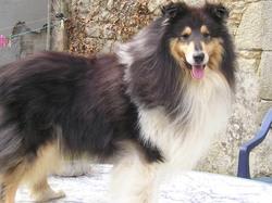 Volcano Black, chien Colley à poil long
