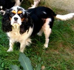 Venus, chien Cavalier King Charles Spaniel