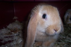 Kanelle, rongeur Lapin
