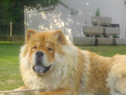 Émy, chien Chow-Chow