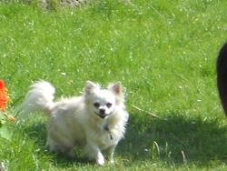 Pancho, chien Chihuahua