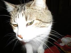César, chat