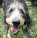 Sparky, chien Griffon nivernais