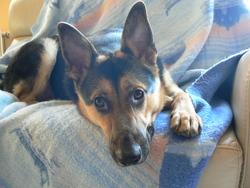 Evy, chien Berger allemand