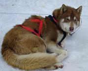 C' Shaka, chien Chien du Groenland