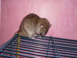 Jason, rongeur Rat