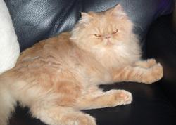 Frimousse Du Manoir Du Comté, chat Persan