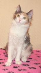 Féeria, chat Angora turc