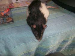 Hoody, rongeur Rat