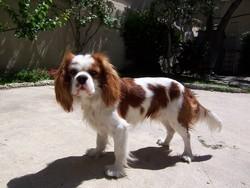 Enki, chien Cavalier King Charles Spaniel