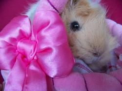 Princesse, rongeur Cochon d'Inde