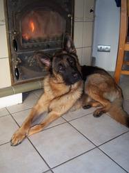 Chanel, chien Berger allemand