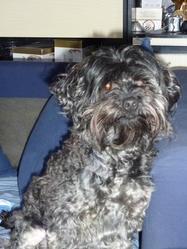 Caline, chien Caniche