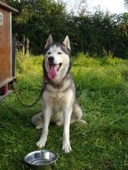 Tao, chien Husky sibérien