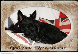Rose-Marie, chien Scottish Terrier