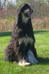 Max, chien Lévrier afghan