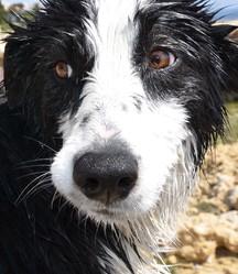 Tchuss, chien Border Collie