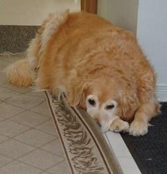 Gwendolyne, chien Golden Retriever