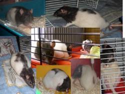 Ratatouille Et Les 3 Fifilles, rongeur Rat