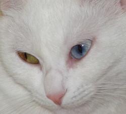 Neige De Chine, chat Européen