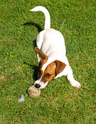 Pelo, chien Jack Russell Terrier