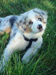 Fyno, chien Berger australien