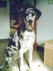 Nina, chien Dogue allemand
