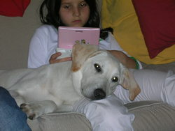 Beatles, chien Labrador Retriever