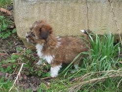 Filou, chien Griffon belge