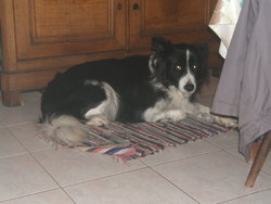 Black, chien Border Collie