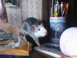 Razmo, rongeur Rat