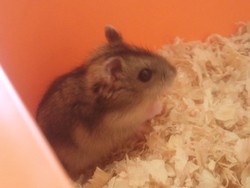 Ambre, rongeur Hamster