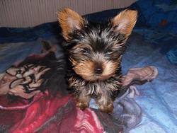 Cianne, chien Yorkshire Terrier