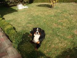 Choum, chien Bouvier bernois