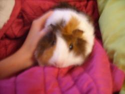 Rosie, rongeur Cochon d'Inde