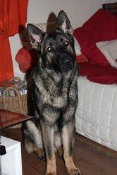 Eos, chien Berger allemand