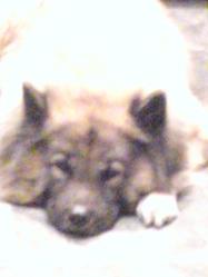 Samy, chien Eurasier