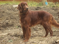 Aaron Of Mc Birdy, chien Setter irlandais rouge et blanc