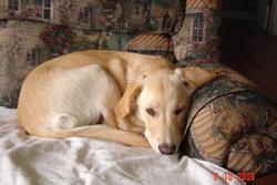 Princesse, chien Labrador Retriever