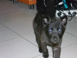 Fantasia, chien Berger hollandais
