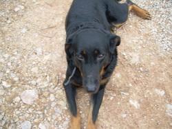 Vanda, chien Beauceron